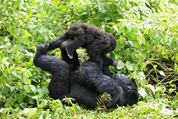 A mountain gorilla plays with a young gorilla in a clearing in Virunga national park in the Democratic Republic of Congo, near the border town of Bunagana