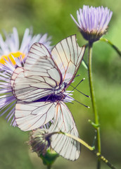 Two butterfly sitting on a flower of chamomile garden