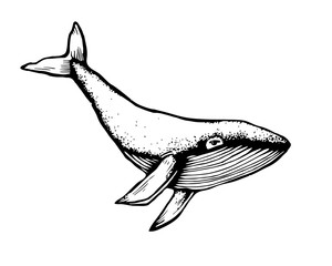 Hand-Drawn Doodle of whale. Vector Illustration - stock vector.
