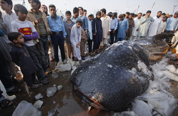 Residents gather around a whale shark after it was brought to Karachi's fish harbor