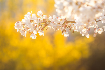 Wall Mural - Cherry blossom in spring for background