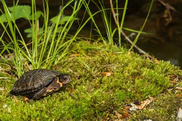 Bog Turtle (Glyptemys muhlenbergii)