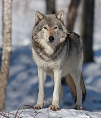 Timber wolf in the winter snow