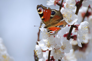 Apricot blossoms with peacock butterfly.