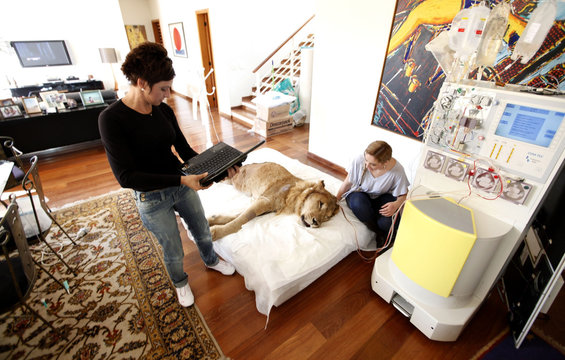Veterinary physiotherapist Pereira looks at a paralyzed lion Ariel as its owner Borges works on her laptop at the living room of a veterinarian's home in Sao Paulo