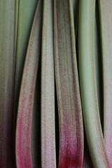 Rhubarb Stalks 2