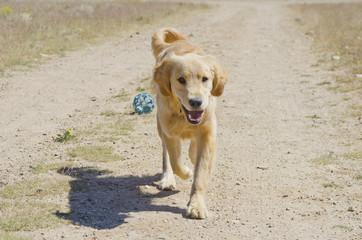 Golden Retriever Follows Come Command From Master
