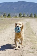 Golden Retriever Runs with Blue Ball in Mouth