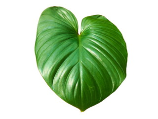 King of Heart leaf isolated on white background