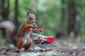 Photo sur Aluminium Squirrel Red squirrel near the small shopping cart with nuts