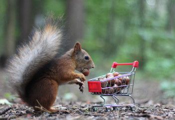 Photo sur Toile Squirrel Red squirrel near the small cart from a supermarket with nuts