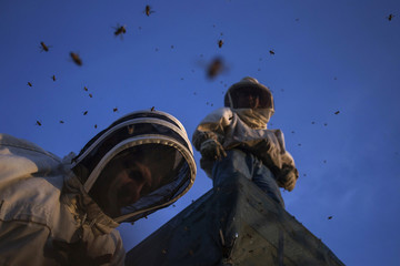 Beekeepers are seen atop a truck as they secure a cover over bee hives before transferring the bees to another crop after they completed pollinating a blueberry field near Columbia Falls, Maine