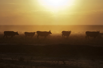 A herd of cows at sunset
