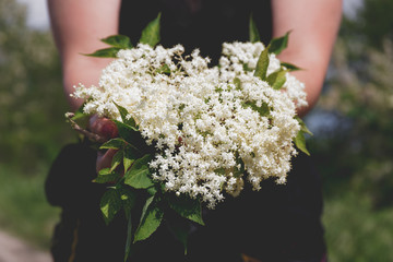 Close up of female hands holding handful of elder flowers outdoors in springtime