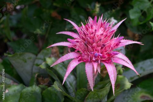 Aechmea fasciata pink bromeliad stok grseller ve telifsiz aechmea fasciata pink bromeliad mightylinksfo