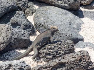 Marine Iguana (Amblyrhynchus cristatus) on Santa Cruz Island Galápagos Ecuador