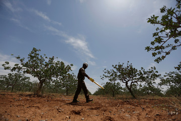 A civil defence member searches for cluster bombs inside an orchard in al-Tmanah town in southern Idlib countryside