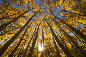 Aspen Tree Sunrise