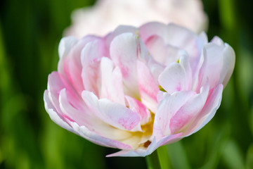 Closeup of a white tulip on green grass background