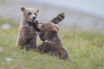 Grizzly Bear Cubs Playing