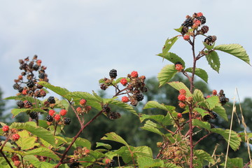 blackberry blackberries bush wild growing ripening grow on bramble bush ripe and unripe stock, photo, photograph, image, picture