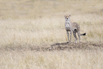 Cheetah looking out for the victim in the African savannah