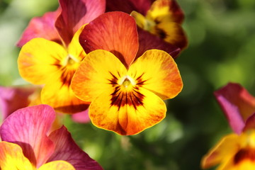fire pansy