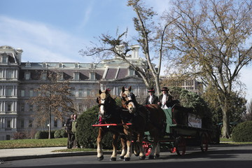 The Official White House Christmas Tree arrives by a horse drawn carriage at the White House