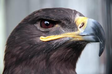 Golden eagle Aquila chrysaetos orel skalni