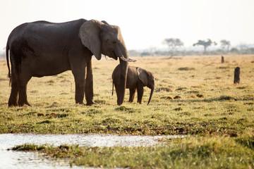 Aluminium Prints Elephant Elephant - Chobe N.P. Botswana, Africa