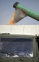 A driver sits inside the cabin of a truck during corn harvesting in a field near the village of Moskovskoye
