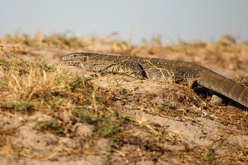 Big Lizard - Chobe N.P. Botswana, Africa
