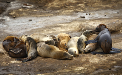 Seal pups sleep with mothers along the rocky shoreline in La Jolla, California