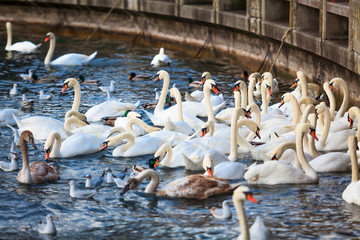 White Swans. swans on a lake. Group of swans