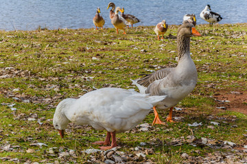 A pair of wild geese and ducks at the lake