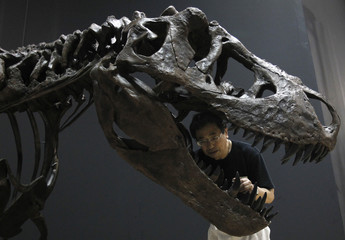 """A worker looks at a replica of a Tyrannosaurus rex fossil on display for """"The Dinosaur Expo 2011"""" exhibition in Tokyo"""