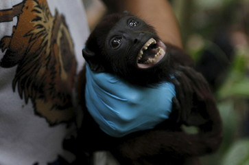 A volunteer holds a baby Red Howler Monkey (Alouatta caraya) at the Hacienda Miraderos forests in the Municipality of Armenia, Antioquia