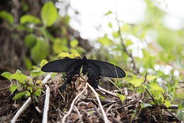 新緑の森のアゲハ蝶