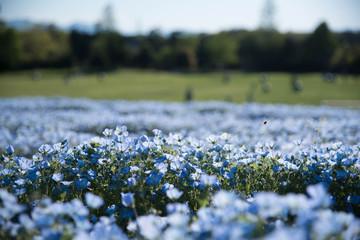ネモフィラの花畑