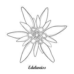 Vector illustration with outline Edelweiss or Leontopodium alpinum isolated on white background. Symbol of Alp Mountains in contour style. Alpine mountain flower for summer design and coloring book.