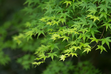 Maple of Green