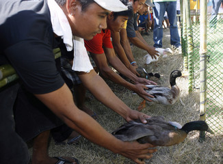 """People place their ducks at starting point of duck racing  during the """"Birds and Eggs"""" festival in Candaba town"""