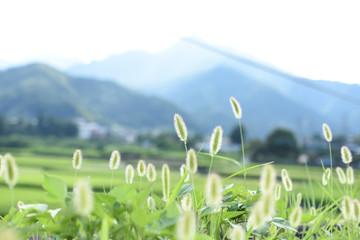 田舎の風景 ねこじゃらし