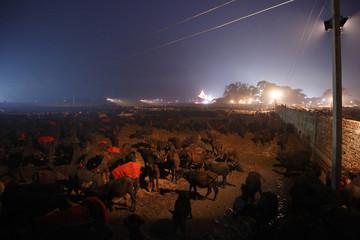 "Buffaloes are gathered in an enclosure for buffalos awaiting sacrifice on the eve of the sacrificial ceremony for the ""Gadhimai Mela"" festival in Bariyapur"