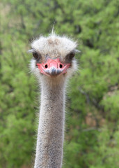 Portrait of one male ostrich looking directly at viewer, green bushes in background. The ostrich is a large flightless birds native to Africa. Males have a pink beak