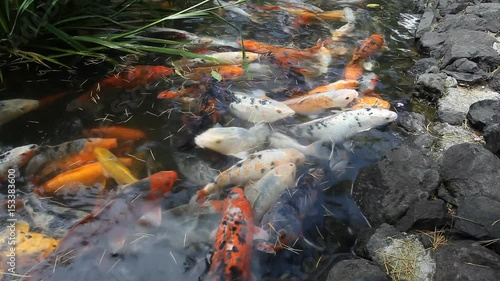 Japan fish call carp or koi fish colorful many fishes for Acheter carpe koi