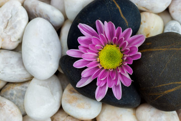 Acrylic Prints Daisies Pink flower of Chrysanthemum and stones.