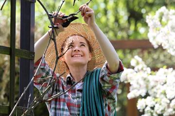 Fototapeta Winogrono, kobieta przycina uschnięte pnącza winorośli. Ogrodnik przycina pnącza winorośli. obraz