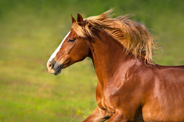 Beautiful red horse with long mane portrait in motion against green background