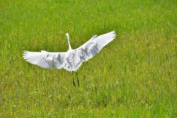 Airone bianco maggiore con le ali aperte nel prato verde